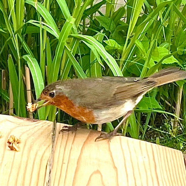 A robin eating cake crumbs from the table