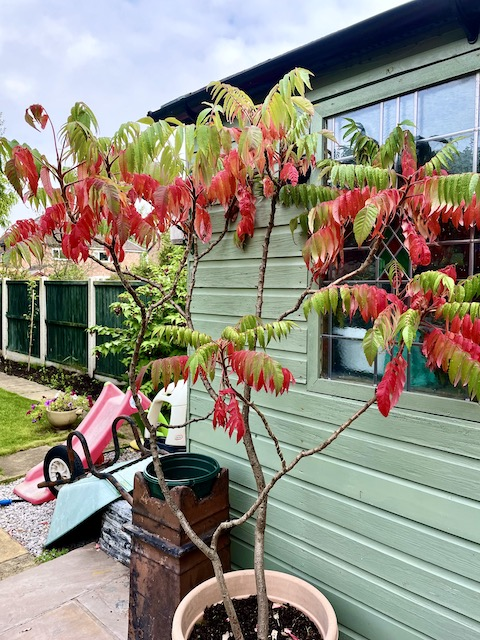 Staghorn tree in our garden with partially red leaves