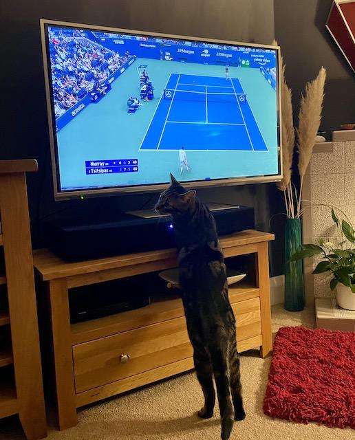 Cat watching tennis on TV